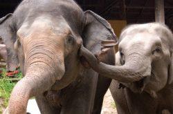 Elephants Tour Chiang Mai
