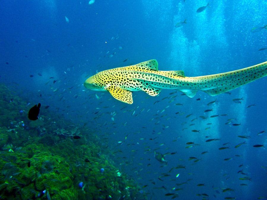 Leopard shark Phi Phi