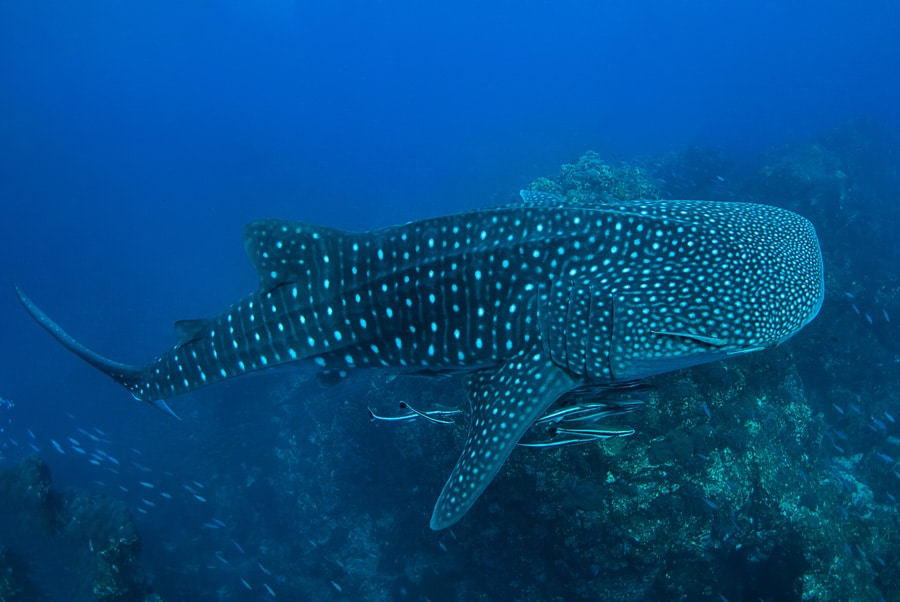 Whale shark in Richelieu Rock, North Andaman,