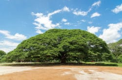 Giant Raintree Kanchanaburi